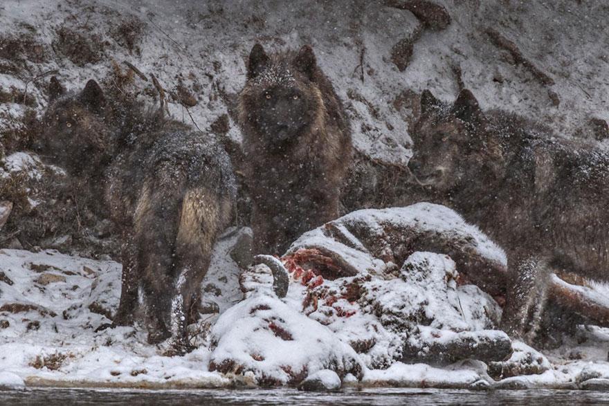 31- لاشه یک بایسون (گاو وحشی آمریکائی) در نزدیکی رودخانه یلواستون، بزمی بزرگ را برای این گرگ و فرزنده دو ساله اش رقم زده است.