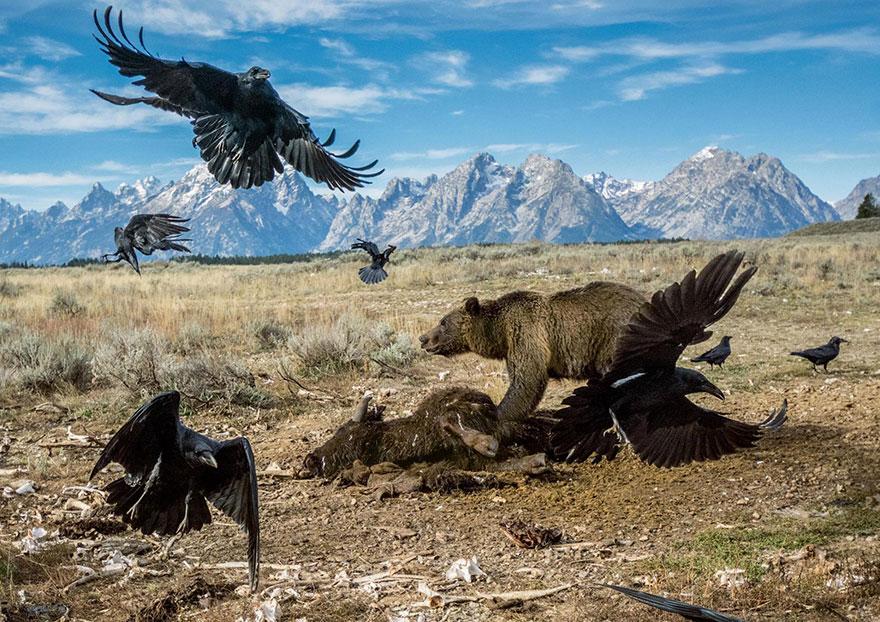 36- در حال حاضر در بخش هایی از یلواستون، حیوانات وحشی زیادی زندگی می کنند که از جمله می توان به خرس های گریزلی اشاره کرد. این تصویر از یک گریزلی در پارک ملی گرند تتون گرفته شده که در حال پراکنده کردن کرکس ها از جسد بایسون است. کارگران آن را از جاده بیرون کشیده و در این منطقه رها کرده اند تا برای گردشگران مشکلی پیش نیاید و توسط لاشخورها خورده شود.