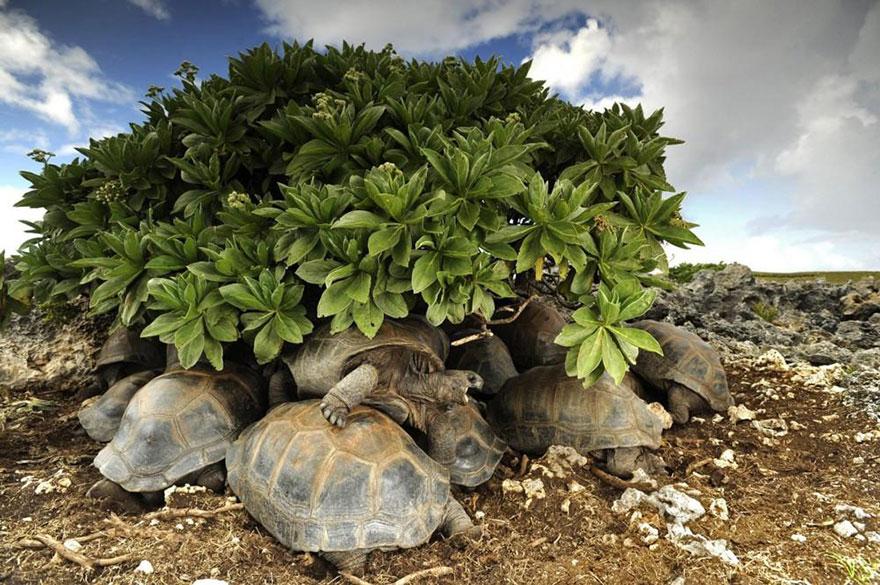 39- لاک پشت ها در حال پناه گرفتن در زیر گیاهان و بوته ها هستند. این حیوانات اگر برای مدت طولانی زیر تابش مستقیم آفتاب قرار داشته باشند، درون لاک خود خواهند پخت.