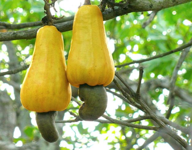 آکاژو (کاشو - قرص کمر) در انتهای میوه های عجیب که شبیه گلابی هستند رشد می کنند و پوسته آنها سمی است. به همین خاطر است که هرگز این میوه را با پوسته اش در بازار نمی بینید.
