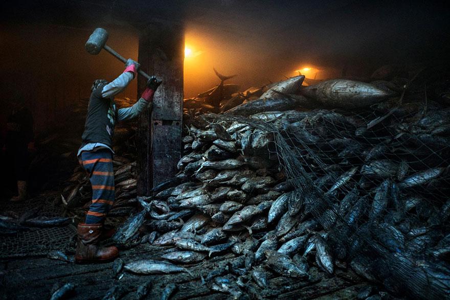 4- کارگری که با استفاده از چکش در حال بیرون کشیدن ماهی های تن از میان تور ماهیگیری چینی در شهر جنرالسنتو در فیلیپین است.