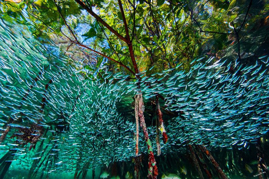 42- ماهی های سیمین پهلو در میان تپه های مرجانی در کوبا در حال حرکت هستند. این ماهی های بندانگشتی قادر هستند در کنار یکدیگر شکل یک ماهی شکارچی بزرگ را بازسازی کرده و موجب وحشت صیادان بشوند.