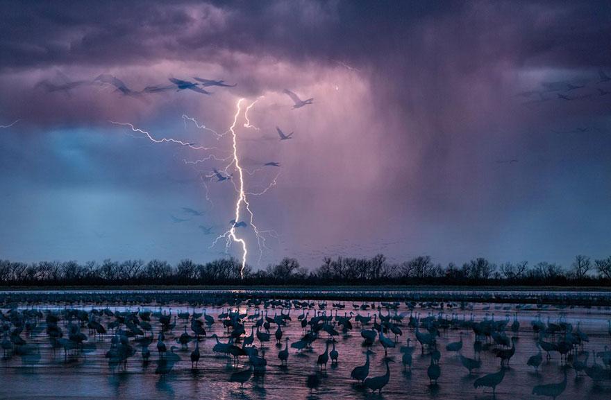 43- در حالی که رعدو برقی توفان عصرگاهی آسمان نزدیک رودخانه Wood در نبراسکا را روشن کرده، 413 هزار درنای شنزار وارد فلات این رودخانه شده اند.