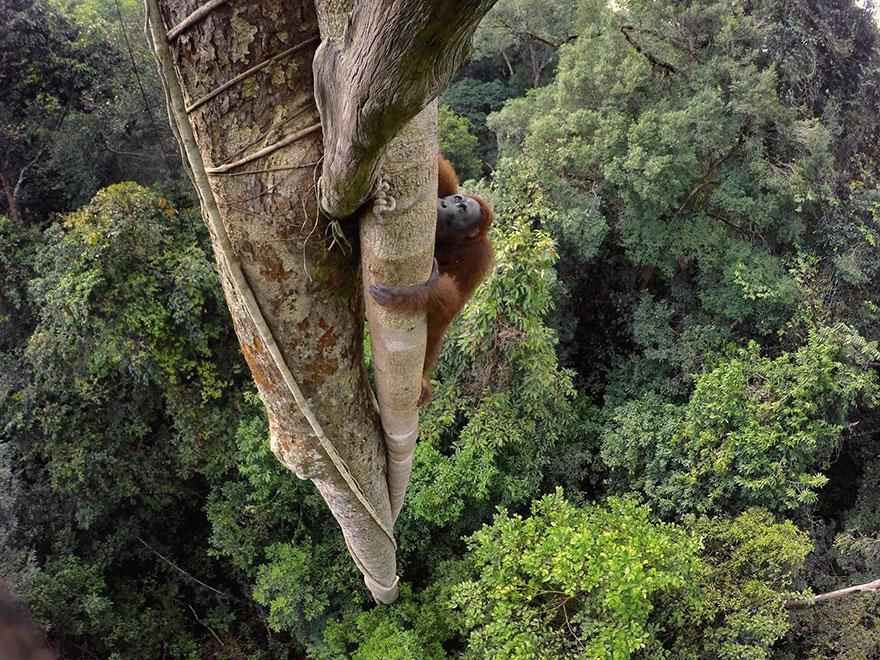 46- یک اورانگوتان Bornean برای کندن میوه انجیر وحشی حدود 30 متر ارتفاع درخت را صعود کرده است. جالب است بدانید اورانگوتان های نر با وزنی حدود 100 کیلوگرم، سنگین وزن ترین حیوانات با قدرت بالا رفتن از درخت در سراسر دنیا محسوب می شوند.