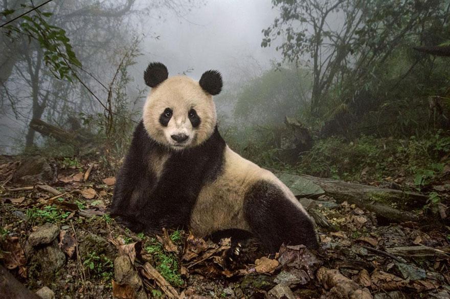 47- Ye Ye، یک پاندای 16 ساله است که در منطقه حفاظت شده Wolong در چین روی زمین دراز کشیده است.