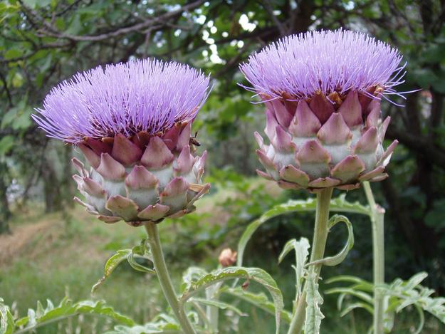 آرتیشو در واقع یک گل است که بخش خوراکی آن را قسمت برآمده ی زیر گلبرگ ها تشکیل می دهد.