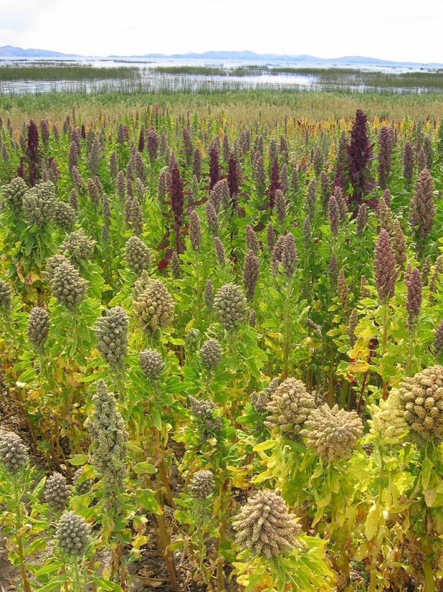 کوینولا که نوعی دانه خوراکی رایج در آمریکای جنوبی است، داخل این گیاهان رشد کرده و از آنها استخراج می شوند.