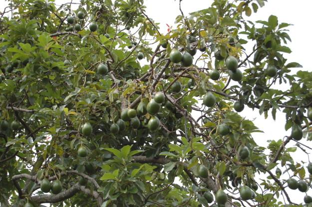 شاید جالب باشد بدانید که آووکادو روی درخت رشد کرده و چیده می شود.