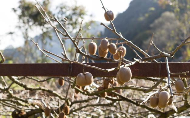 کیوی نیز روی شاخه هایی همانند درخت مو رشد می کند.