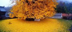 ریزش برگ های زرد درخت ۱۴۰۰ ساله چینی یکی از جاذبه های گردشگری این کشور است