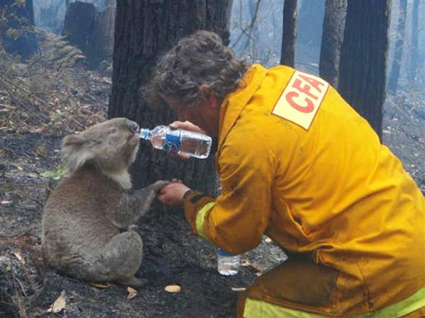 نجات کوالا در استرالیا