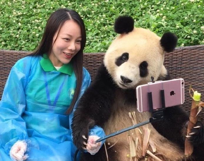 پاندای چینی که مهارت فراوانی در گرفتن سلفی با گردشگران دارد