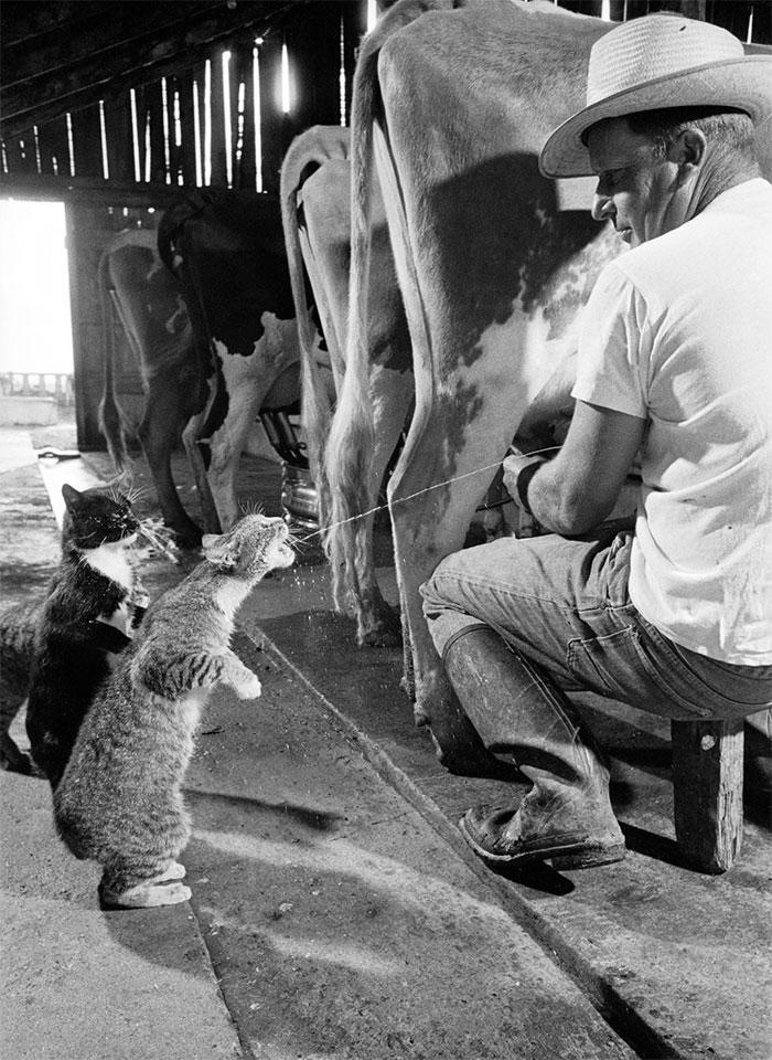 این دامدار مهربان هنگام دوشیدن شیر گاوها، به گربه ها هم شیر می دهد. 1954