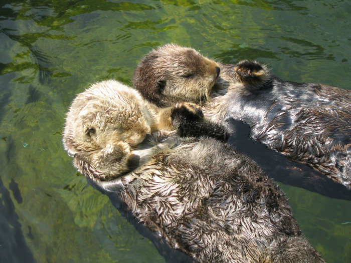 otters-holding-hands-3-w700