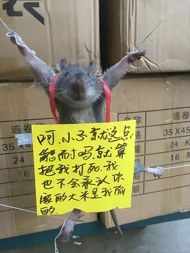 PAY-AsiaWire_RatShame_01