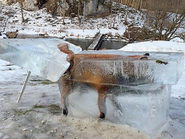 یک شکارچی آلمانی به نام «فرانز استهله» تصویر این روباه را به اشتراک گذاشته و بیان داشته که این حیوان درون رودخانه دانوب افتاده، غرق و در نهایت منجمد شده است. آن ها این بلوک یخی که روباه بیچاره در آن جان خود را از دست داده را در محوطه هتل خانوادگی خود در فریدینگن به معرض نمایش گذاشته اند. شکارچی یاد شده بیان داشته بسیار کم پیش می آید که حیوانی یخ رودخانه را شکسته و داخل آن بشود. اما وی در گذشته گوزن و گراز وحشی منجمد شده در رودخانه ی یخی را نیز شاهد بوده است.