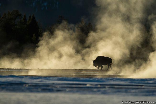 بایسون (گاومیش وحشی آمریکای شمالی) در پارک ملی یلواستون به چشمه آب گرم رفته تا از سرمای ژانویه در امان بماند.