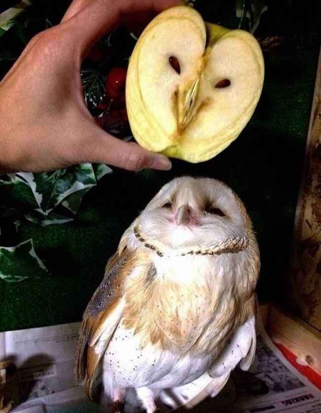 چیدمان هسته های این سیب صورت یک جغد را تداعی می کند.