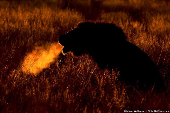 شیر نر در پارک Kgalagadi - Transfrontier - آفریقای جنوبی