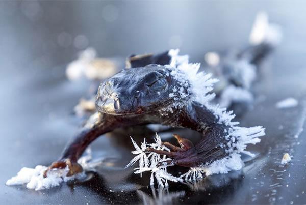 به نظر می رسد که این قورباغه کوچک خوابیده است اما به طور تاسف باری باید گفت که این حیوان کوچک یخ زده و مرده. این طور تصور می شود که افزایش دمای ناگهانی هوا باعث گول خوردن این دوزیست شده و باعث شده به سمت دریاچه حرکت کند. اما سرمای هوا موجب یخ زدن او شده است. «اسواین نوردمان» 54 ساله این عکس را در اسلو گرفته است.