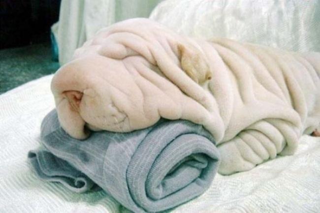 حوله نرم کرم رنگی که در بالا می بینید در اصل یک سگ پر چین و خنده دار است که زیر سرش حوله گذاشته و خوابیده