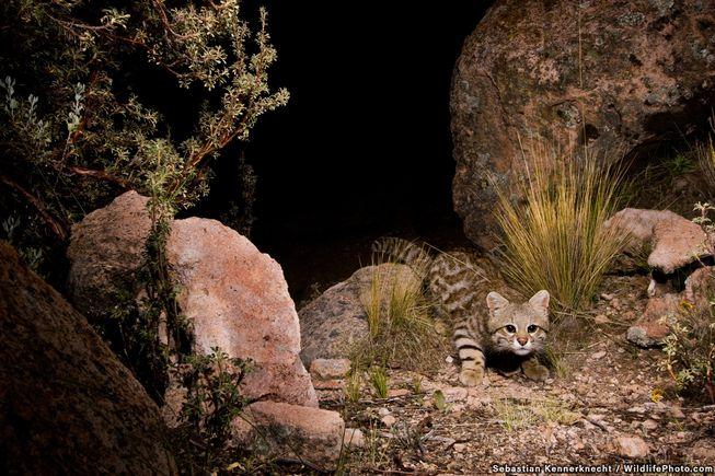 گربه پامپاس (بومی آمریکای جنوبی) - بولیوی غربی