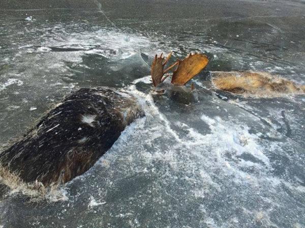 کوهنوردی به نام «برد وبستر» و دوستش، دو گوزن شمالی منجمد را در رودخانه پیدا می کنند که در حال مبارزه با هم بوده اند. این گوزن ها در Unalakleet در دریای برینگ پیدا شده اند. گفته می شود احتمالا یکی از گوزن ها به آن یکی حمله کرده و در طول جنگیدن با هم، به سمت رودخانه رفته و غرق و در نهایت، منجمد شده اند.