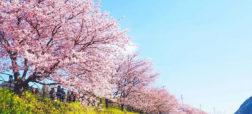 تصاویری زیبا و شگفت انگیز از جشن شکوفه های گیلاس در کشور ژاپن