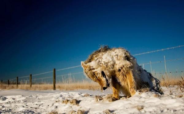 کایوت (نوعی گرگ صحرایی بومی آمریکای شمالی)ی که در عکس مشاهده می کنید در بیابانی با دمای منفی 30 درجه سانتی گراد در نتیجه برودت هوا یخ زده و مرده است. این عکس را «سابینه کانئون» در سال 2008 میلادی گرفته است.
