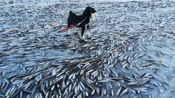 در زمستان سال 2014 میلادی به دنبال یک پدیده کاملا نادر، تمام ماهی های رودخانه Lovund در نروژ یخ زدند.