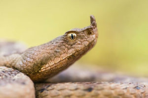 Western-nose-horned-viper.jpg.838x0_q80-w900-h600