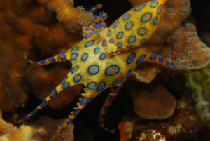 blue-ringed-octopus-w900-h600