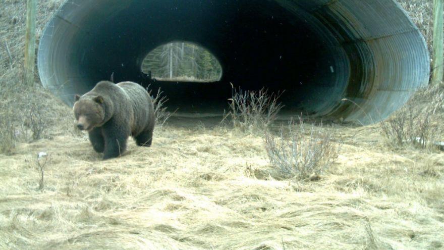 تونل عبور خرس های گریزلی در بزرگراه کنار پارک ملی بانف