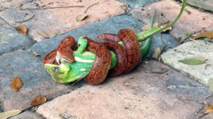 equestris-being-eaten-by-a-snakex