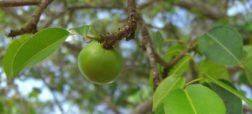 با «سیبچه مرگ»، خطرناک ترین درخت سمی جهان آشنا شوید