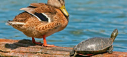 Mallard_Duck_And_Turtle-w700