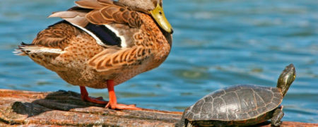 Mallard_Duck_And_Turtle-w700