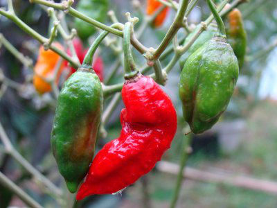 chillies-are-used-as-weapons-w700