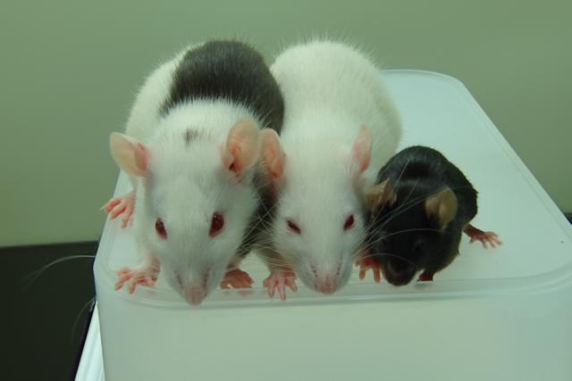 chimera-rat-mouse-w700
