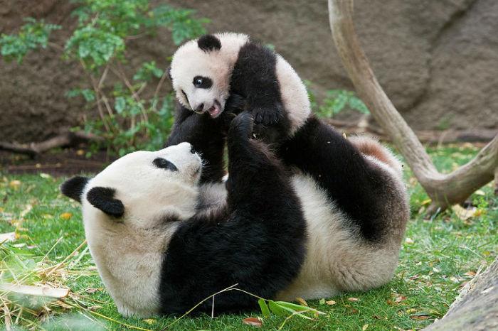 giant-panda-mama-and-cub-zssd-w700