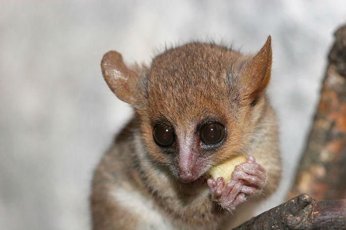 grey_mouse_lemur2-w700