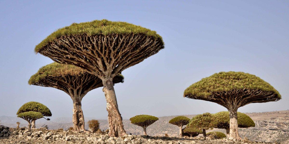 جزیره سقطرا، در دهانه خلیج عدن واقع در کشور یمن، زیستگاه یکی از عجیب ترین گونه های درختی در جهان به شمار می رود. درخت خون اژدها، را فقط در این منطقه از جهان می توان دید.