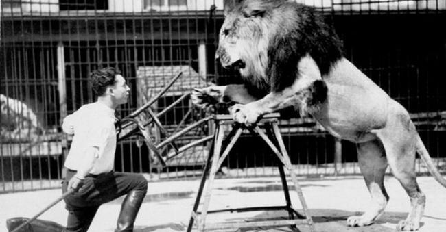 مربی های شیر برای آموزش وی از چهارپایه یا صندلی استفاده می کنند زیرا سلطان جنگل در آن واحد فقط می تواند روی یک سوژه تمرکز کند و با دیدن چهارپایه گیج می شود.