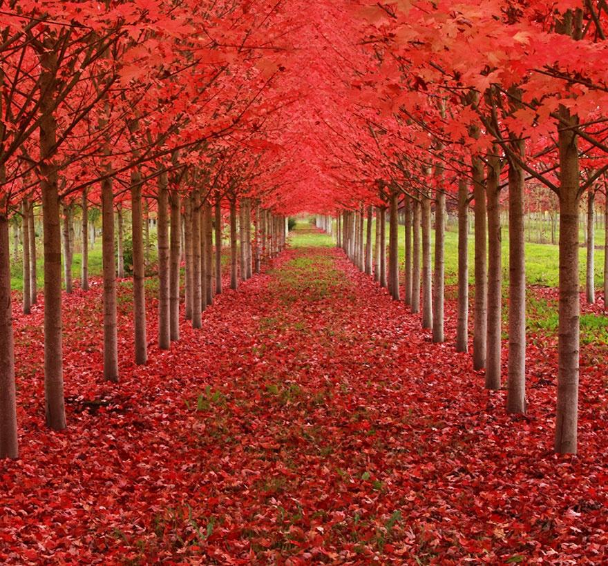 تونلی از درختان افرا - ارگان، آمریکا