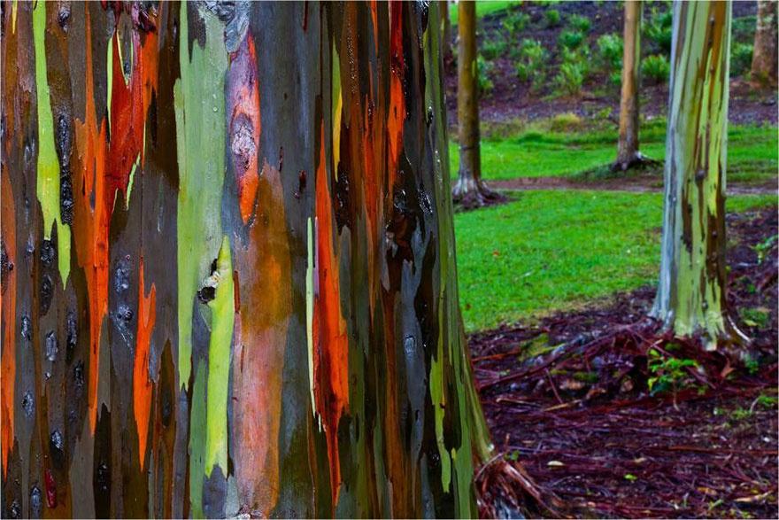 اکالیپتوس رنگین کمانی - هاوایی