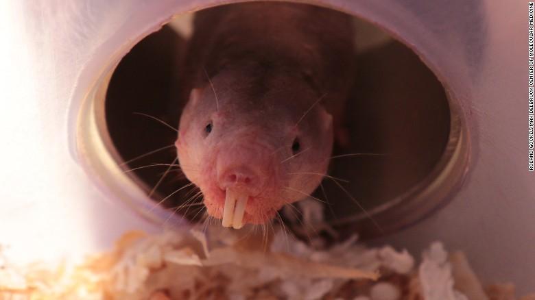 170421113626-03-naked-mole-rats-oxygen-study-exlarge-169