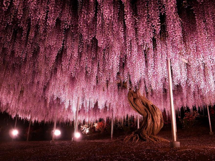 درخت 144 ساله ویستریا - ژاپن