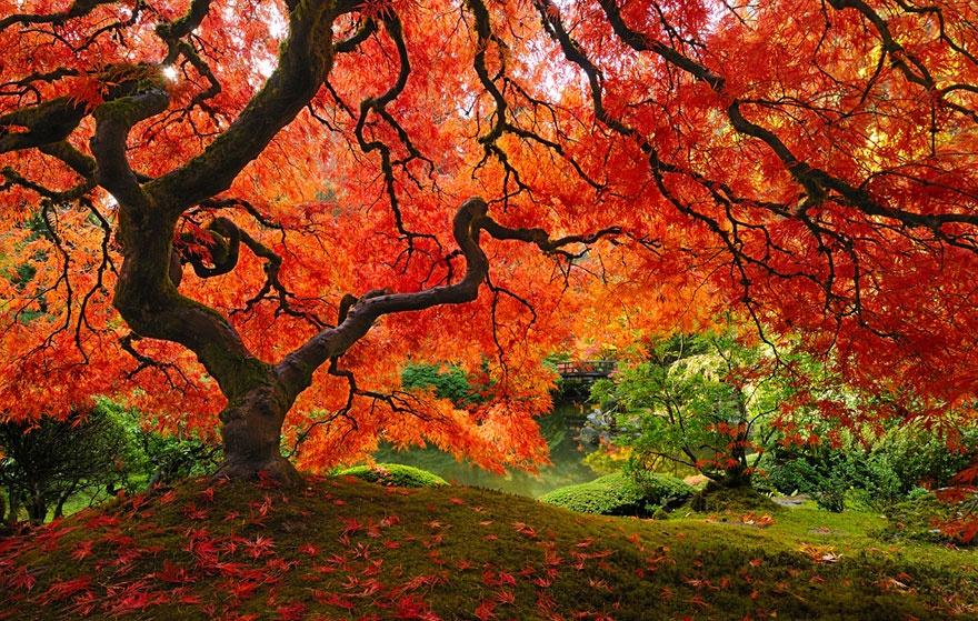 درخت افرای ژاپنی - اورگان، آمریکا
