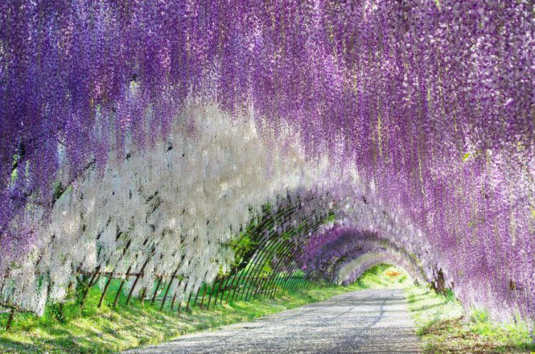 مجموعه تصاویر شگفت انگیزی که زیبایی های بهار در جشنواره ویستریای ژاپن را نشان می دهند