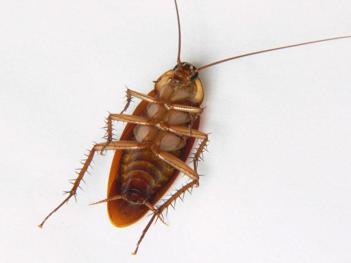 american-cockroach-w700